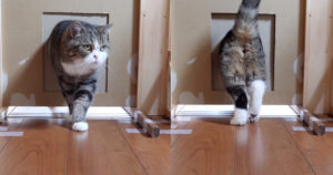 No, A Microchip Cat Flap is Not Too Small for Your Kitty! 2